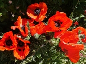 Magnificent poppies