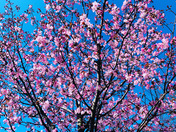 Blossom - Project 52