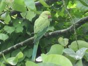 Parakeet in the Garden