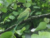 Parakeet in the Garden