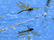 Emperor Dragonflies in the process of egg laying (ovipositing)