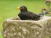 Blackbird cools down in bird bath.