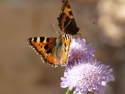 Tortoiseshell Butterflies on Scabia flowers.