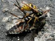 Wasp attack 2