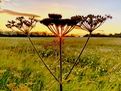 Stunning Sunset through the seed heads at Flitcham
