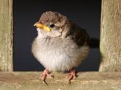 Baby Sparrow in my garden.