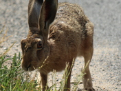 Hare at Wheatacre