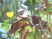 Garden Wren