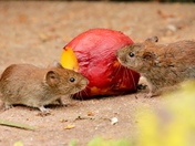 Victor the vole receives a gift