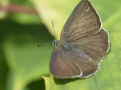 Purple Hairstreak Butterfly's