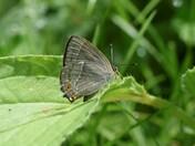 Purple Hairstreak Butterfly's