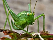 Mrs.Speckled bush-cricket.