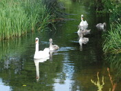 Swans at Colney