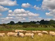 sheep at martlesham creek