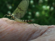 Mayfly in July