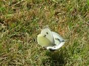 Butterflies visiting