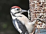 Portrait of a Woodpecker.