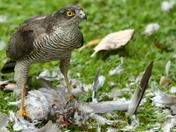 Sparrowhawk in the garden!