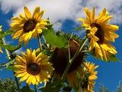 sunflowers for irene