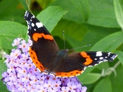 RED ADMIRAL ON BUDDLEIA BLOOM