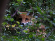 Young fox cub sheltering in bushes
