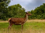 Red deer at bedfords park