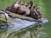A line of ducklings