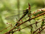 Southern Hawker Dragonfly resting