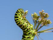 Swallowtail cats feeding at Hickling