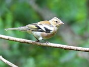 Young Chaffinch