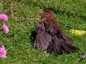 Sun bathing Blackbird