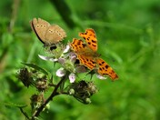 Ringlet And Comma