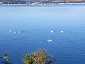 Swans on the Exe
