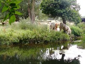 Calves exploring the banks of the Stour