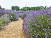 PROJ 52, SUMMER, TIME TO HARVEST LAVENDER