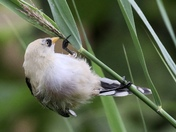 Just a baby bearded tit.