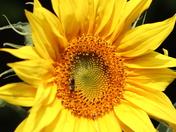 Sunflower in sunshine