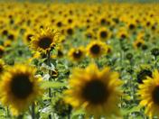 Project 52 - Sunflower