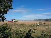 Pea harvesting
