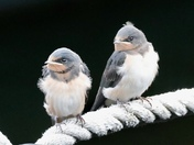 Waiting for mum: Baby swallows being fed