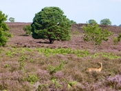 Roe deer in the heather on Roydon common