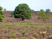 Roe deer posing in pretty purple heather on roydon common