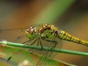 Female Ruddy Darter
