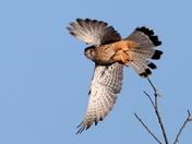 Kestral in Flight
