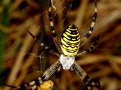 Wasp Spider A