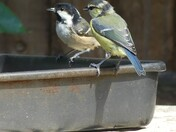 Garden Birds Little Plumstead