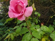 Beauty of Roses