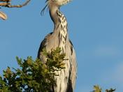 River Bure Heron