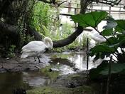 Swan at Abbotsbury Swannery