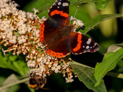 Red admiral butterflied feasting on buddleia